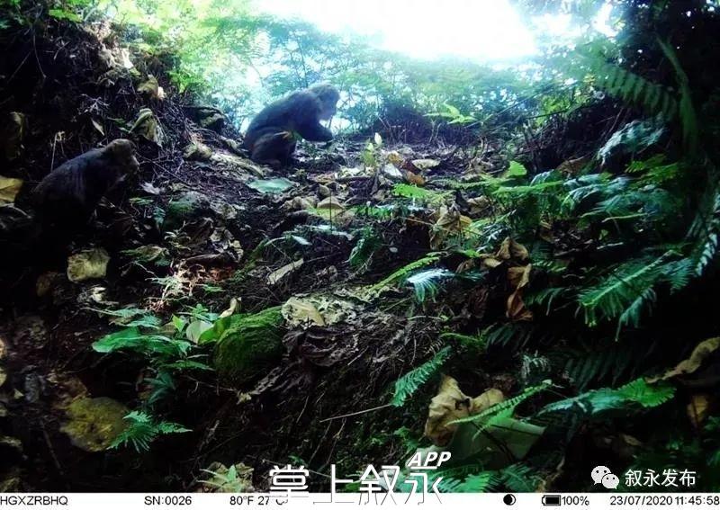 有黑熊,出没!叙永画稿溪首次拍到黑熊清晰影像,完整全身照曝光……